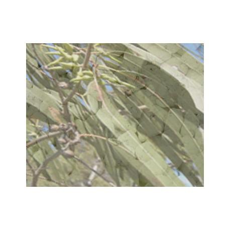 Kadidlo Eukalyptus 30g